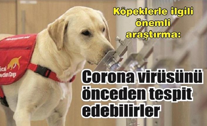 Köpeklerle ilgili önemli araştırma:  Corona virüsünü önceden tespit edebilirler